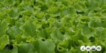 Lollo | Lactuca Sativa